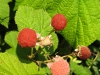 thimbleberries_web